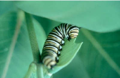 A 4th instar larvae munching on milkweed leaf.