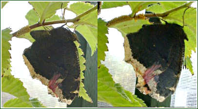 Mourning Cloak laying