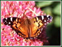 American Painted Lady (photo © David Liebman)