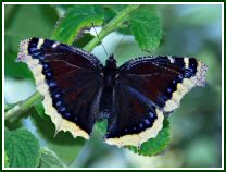 Mourning Cloak (photo © Oscar Gutierrez)