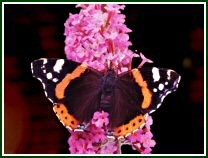 Red Admiral (photo © Paul Chesterfield)