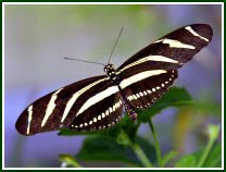 Zebra Longwing (photo © Oscar Gutierrez)